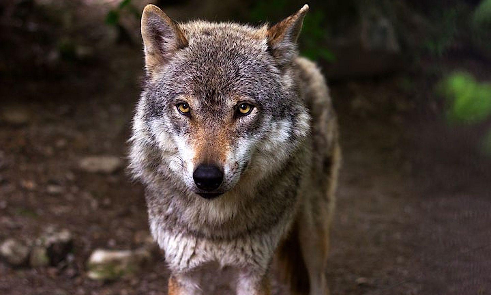 Wolfsleben